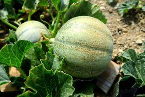 Nutritious pumpkins at a farm